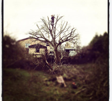 Crown reduction of Walnut Tree