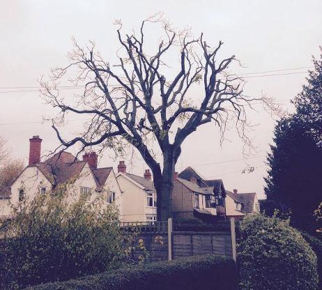 Tree of Heaven Reduction