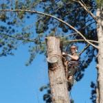 Gradually removing the tree trunk