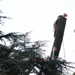 Reducing a Cedar of Lebanon due to a large cavity