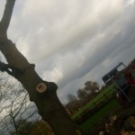 Removing an oak tree that was deemed a hazard